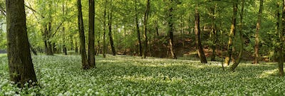 Wild garlic, allium ursinum, growing among the trees