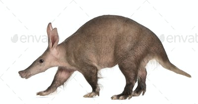 Aardvark, Orycteropus, 16 years old, walking in front of white background