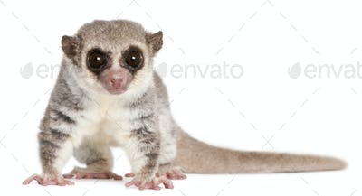 Fat-tailed Dwarf Lemur, Cheirogaleus medius, 11 years old, in front of white background