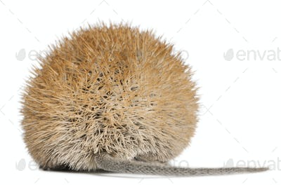 Rear view of Golden Spiny Mouse, Acomys russatus, 1 year old, in front of white background