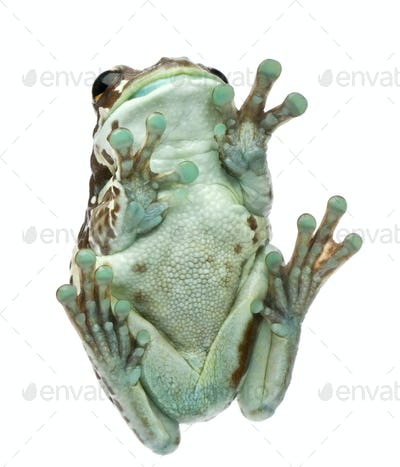 Low angle view of Amazon Milk Frog, Trachycephalus resinifictrix, in front of white background