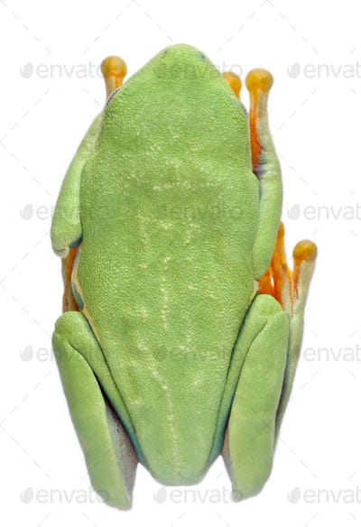 High angle view of Red-eyed Treefrog, Agalychnis callidryas, in cryptic water conservation posture