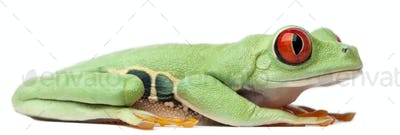 Red-eyed Treefrog, Agalychnis callidryas, sitting in front of white background