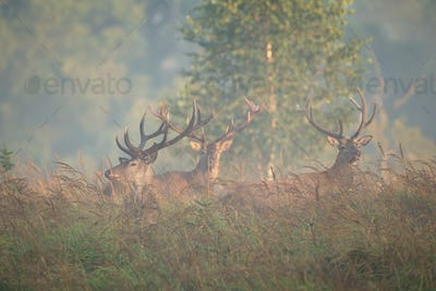 Herd of red deer stags standing on glade in morning fog