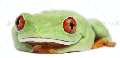 Red-eyed Treefrog, Agalychnis callidryas, in front of white background
