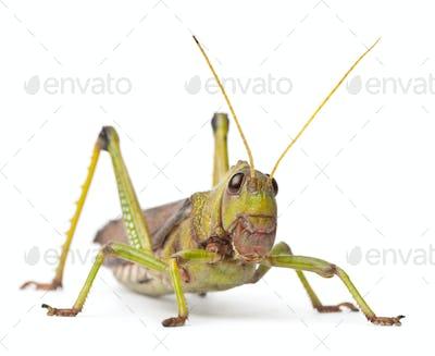 Giant Grasshopper, Tropidacris collaris, in front of white background