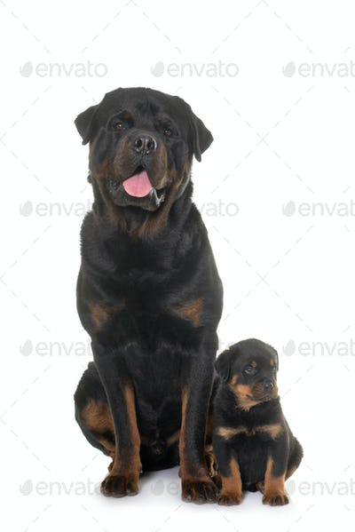 adult and puppy rottweiler
