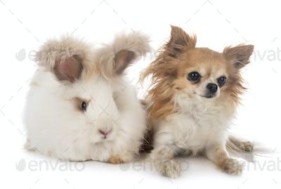English Angora rabbit and chihuahua