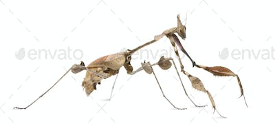Wandering Violin Mantis, Gongylus gongylodes, in front of white background