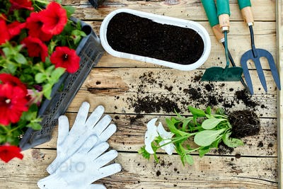Petunia flowers and gardening tools on wooden background.