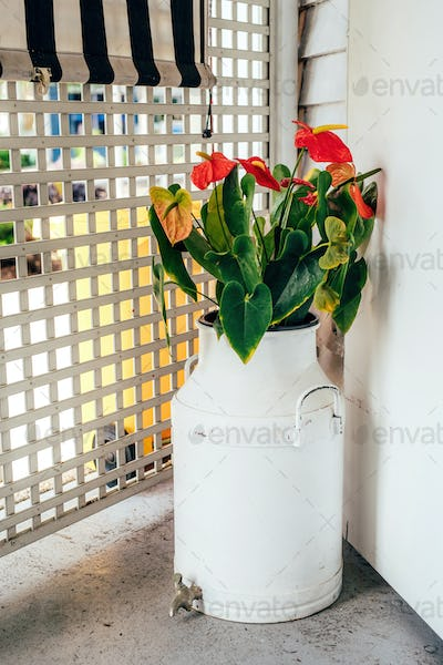 Anthurium in an old cream can with tap to drain excess water on the verandah with lattice