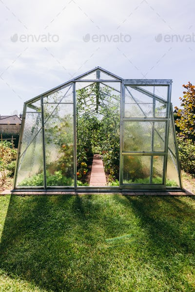 Backyard greenhouse with tomato growing