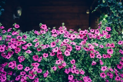 Pink Petunia flowers growing on wooden garden shed