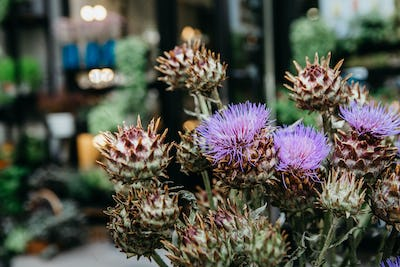 Buds of blooming artichoke thistle. Decorative plants for modern bouquet in studio