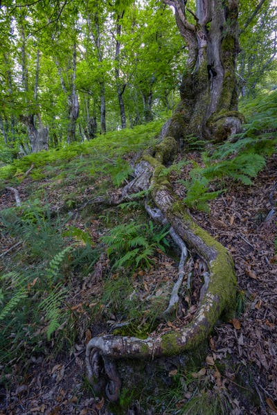 Long and twisted shallow root of an oak