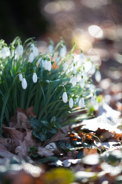 Spring flower snowdrop is the first flower in the end of winter and the beginning of spring.
