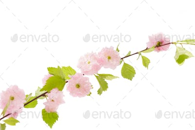 Sakura branch isolatet on white background