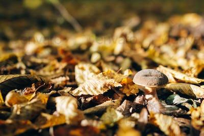Xerocomus mushroom in autumn leaves  in sunny woods