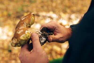 Hands holding boletus edulis mushroom and cleaning it in autumn woods