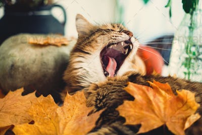Cute Maine coon cat yawning with funny expression, lying in autumn leaves