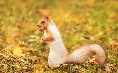 Red-gray squirrel hides nuts in the autumn park in the grass