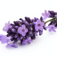 Lavender flowers on a white background.