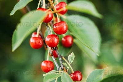 Red Ripe Berries Prunus subg. Cerasus on tree In Summer Vegetable Garden