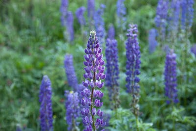 Selective focus image of large-leaved lupines along the Gunflint Trail in northern Minnesota