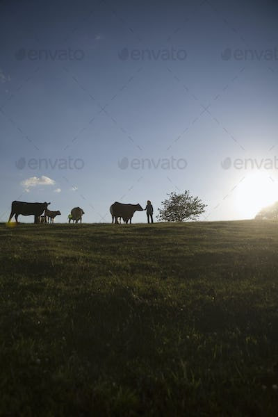 Silhouette cows and farmer on field against blue sky during sunset