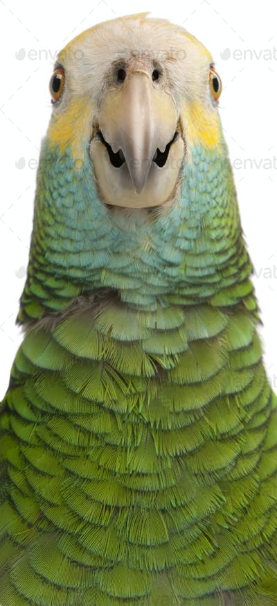 Close-up of Yellow-shouldered Amazon, Amazona barbadensis, in front of white background