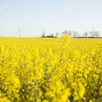 Canola field in bloom