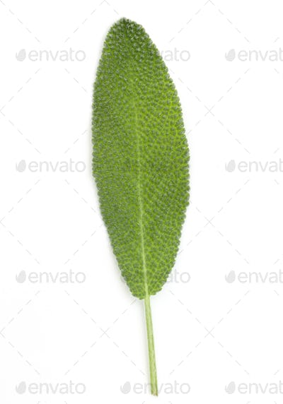 Sage leaves isolated on white background cutout.