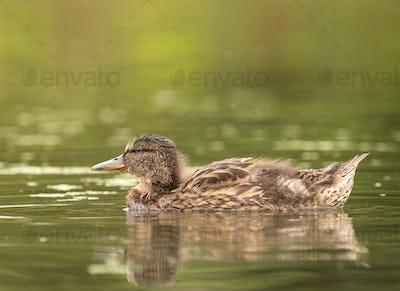 Wild ducks at a pond