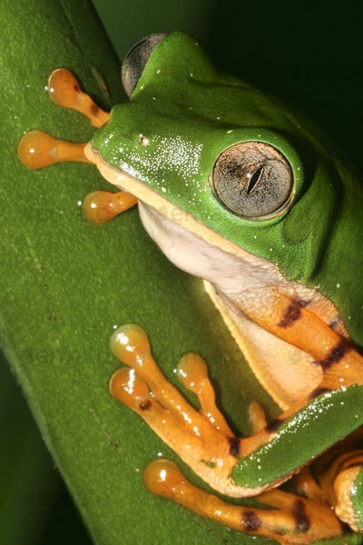 Tiger-Striped Leaf Frog, Napo River Basin, Amazonia, Ecuador