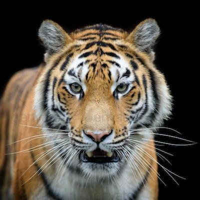 Close-up detail portrait of big Siberian or Amur tiger on black background