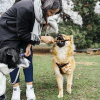 Happy woman playing with Eurasier and mixed-breed dog at park