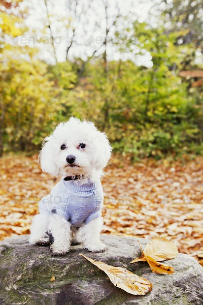 Portrait of Bichon Frise on rock in forest