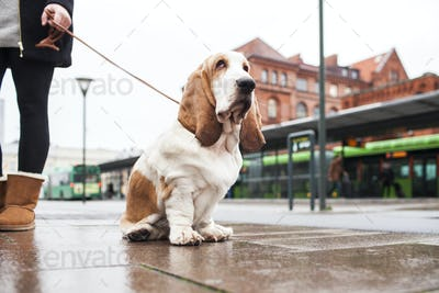 Low section of woman holding leash of Basset Hound on sidewalk