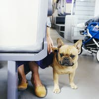 Portrait of French bulldog with woman in bus