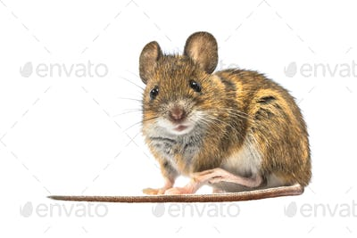 Scared mouse isolated on white background