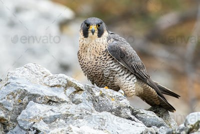 Dominant peregrine falcon sitting on rock in autumn