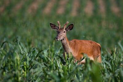 Juvenile red deer standing in corn in summer nature