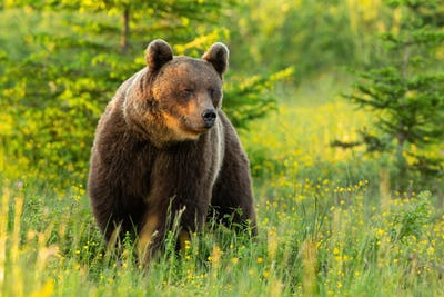 Majestic brown bear standing on meadow in summer nature