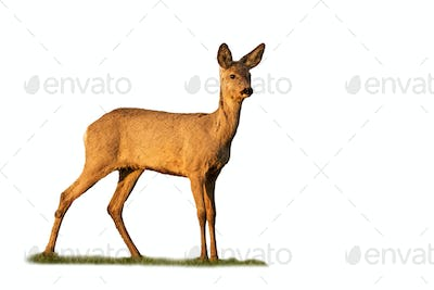 roe deer doe standing on grass isolated on white background