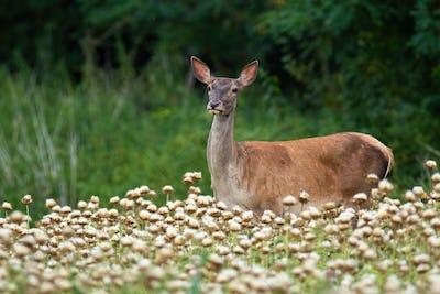 Calm red deer doe standing in poppy in summer nature