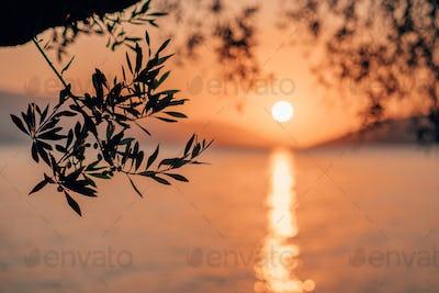 Silhouette olive tree branch in morning warm sunrise light. Sun shape above Mediterranean sea. Sun