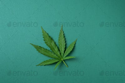 Green hemp leaf on green background. Top view, copy space. Close up of cannabis leaf