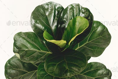 Ficus Lyrata. Beautiful fiddle leaf tree leaves on white background
