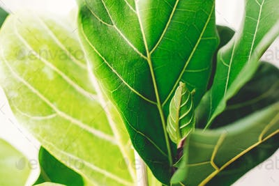 Beautiful fiddle leaf tree leaves on white background