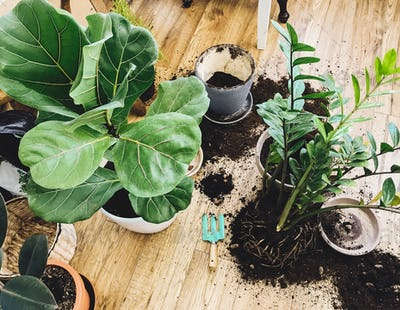 Repotting plants at home